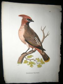 Shaw C1800's Antique Hand Col Bird Print. Bohemian Waxwing